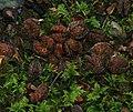 Beechmast - Flickr - S. Rae.jpg