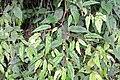 Begonia banaoensis 02.JPG