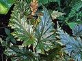 Begonia serratipetala kz02.jpg