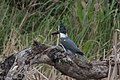Belted Kingfisher (male) Santa Ana NWR Mission TX 2018-03-03 11-35-11 (25792672167).jpg