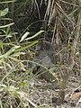 Bengal Monitor (Gui Shap) of Sundarbans.jpg