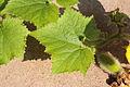 Benincasa pruriens in Guangfeng 2012.10.27 12-58-56.jpg