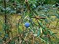 Berberis stenophylla 2017-07-21 3448.jpg