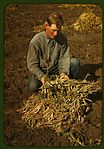 Bill Stagg, homesteader, with pinto beans 1a34110v.jpg