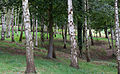 Birch Wood (6018757991).jpg