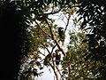 Bird Wreathed Hornbill Rhyticeros undulatus IMG 9195 (15).jpg