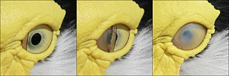 Glossary of bird terms - The nictitating membrane as it covers the eye of a masked lapwing