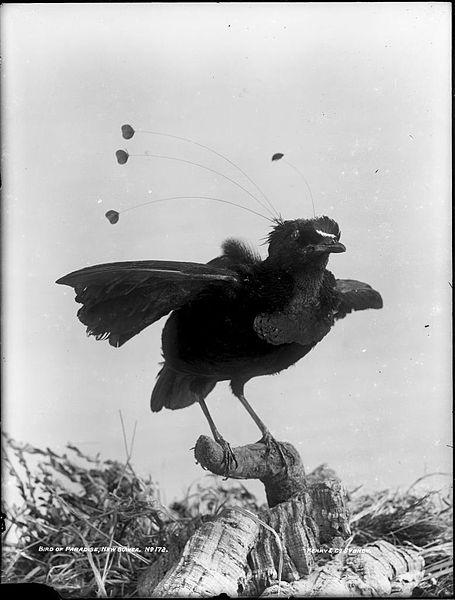 File:Bird of Paradise, New Guinea (4903247881).jpg