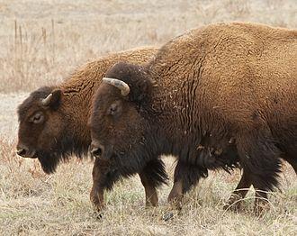 Rocky Mountain Arsenal National Wildlife Refuge - Bison mother and calf at Rocky Mountain Arsenal National Wildlife Refuge