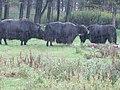 Bisons (22547240678).jpg
