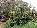 Bixa orellana - Lipstick Tree at Iritty 7.jpg