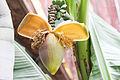 Blütenstand einer Banane (21493625751).jpg
