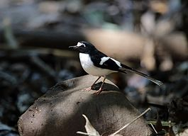 Black-backed forktail (16807008853).jpg