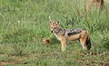 Black-backed jackal, Canis mesomelas, a young one playing with a root as a puppy plays with a ball at Rietvlei Nature Reserve, Gauteng, South Africa (16011750966).jpg