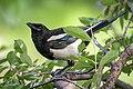 Black-billed Magpie (43446678321).jpg