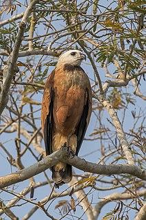 Black-collared hawk species of bird