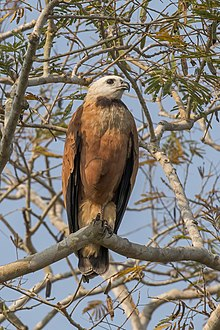 Black-collared hawk (Busarellus nigricollis) adult.jpg