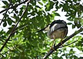 Black-crowned Night-Heron brings a twig for the nest - step one, flew onto a branch near the nest (48251664601).jpg