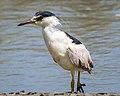 Black-crowned Night-heron (36189448366).jpg