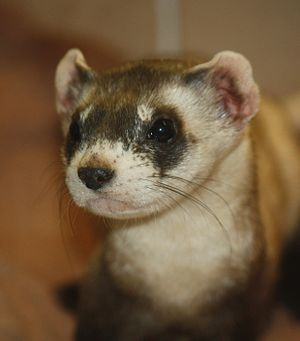 Black-footed ferret - Black-footed ferret at the Louisville Zoo
