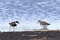 Black-fronted Dotterel and Wood Sandpiper (27955683056).jpg