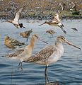 Black-tailed Godwit From The Crossley ID Guide Eastern Birds.jpg