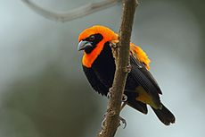 Black-winged Bishop, Sakania, DR Congo (5891715708).jpg