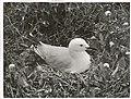 Black Billed Gull at nest. (Larus bulleri) Maori name Tarapunga (8).jpg