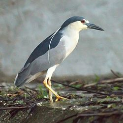 Black Crowned Night Heron (5770945257).jpg