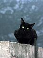 Black cat in at Delphi, Greece.jpg