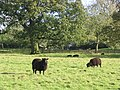 Black sheep Herriard Estate.jpg