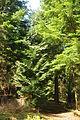 Blanchdown Wood (4958).jpg