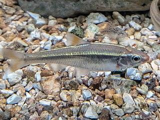 Bleeding shiner Species of fish