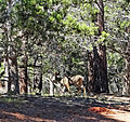 Blending In, Deer at Grand Canyon 9-15 (22347834531).jpg