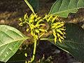 Blepharistemma serratum at Periya (7).jpg