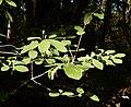Blommande skogstry i granskog.jpg