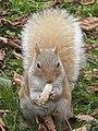 Blonde Squirrel (10718393565).jpg
