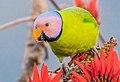 Blossom Headed Parakeet ফুলমাথা টিয়া.jpg