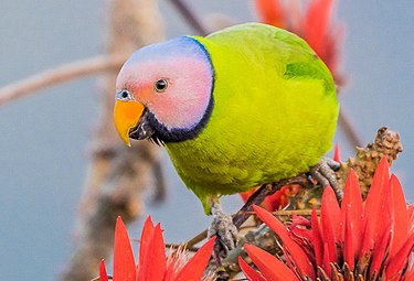 Blossom Headed Parakeet ফুলমাথা টিয়া.jpg