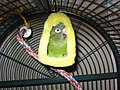 Blue-crowned Parakeet - pet in parrot tent.jpg