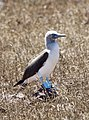 Blue-footed Booby (47803381081).jpg
