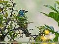 Blue-throated Barbet (Megalaima asiatica) (36926437692).jpg