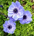 Blue Anemones - Flickr - gailhampshire.jpg