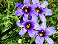 Blue Eyed Grass, Bay Area.jpg