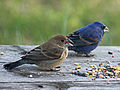Blue Grosbeak RWD4.jpg