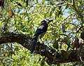 Blue Jay Cyanocitta cristata (38037102596).jpg