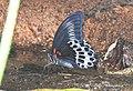 Blue Mormon Papilio polymnestor by Dr. Raju Kasambe DSCN0783 (9).jpg
