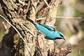 Blue bird in Southern Brazil.jpg
