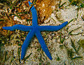 Blue sea star.jpg