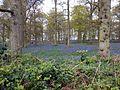 Bluebells Blicking.jpg